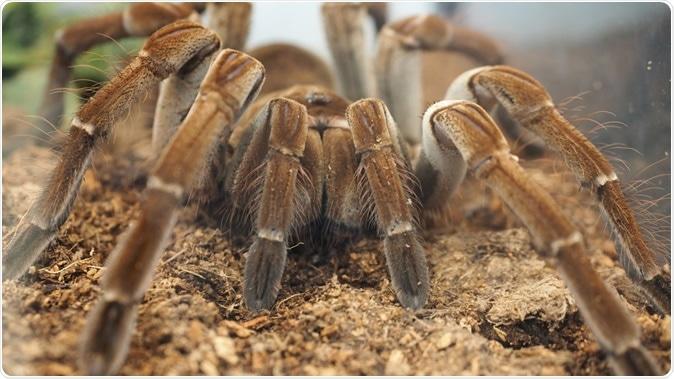 Tarantula spider. Image Credit: Lilreta Ladd / Shutterstock