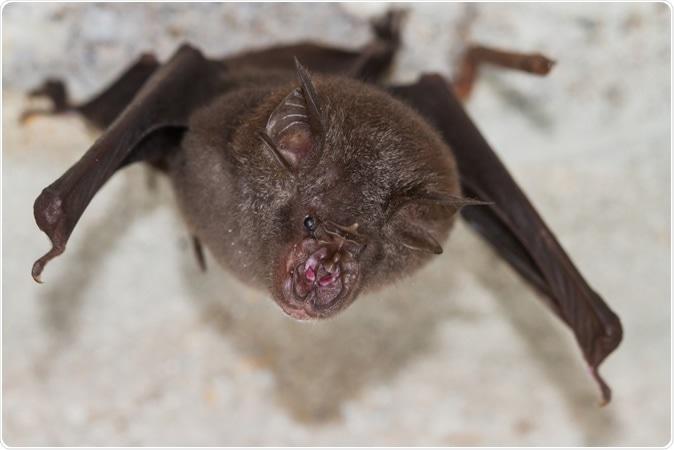 Least Horseshoe Bat (Rhinolophus pusillus). Image Credit: Binturong-tonoscarpe / Shutterstock