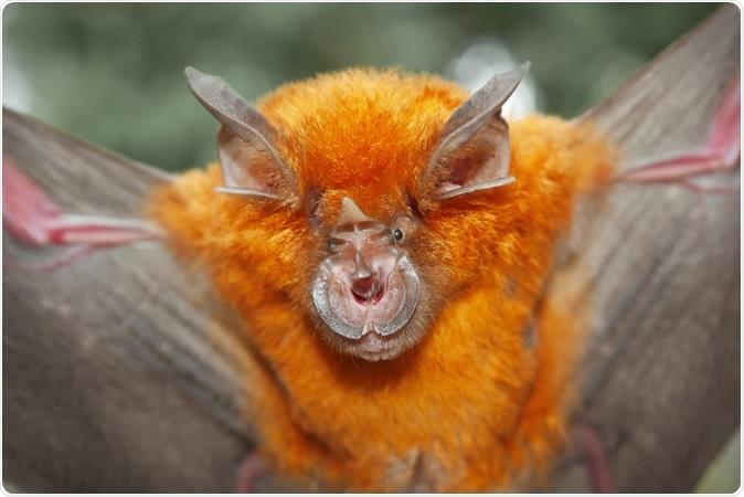 Palo de herradura intermedio (affinis de Rhinolophus). Haber de imagen: Binturong-Tonoscarpe