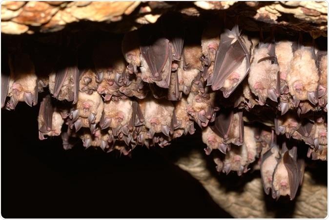 Group of Greater horseshoe bat (Rhinolophus ferrumequinum). Image Credit: Shutterstock