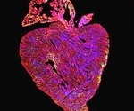 Potential cure for heart disease via cancer gene upregulation