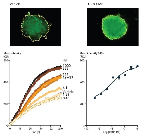 Effect of camptothecin (CMP) on A549 cells reported by Annexin V Green reagents in a 3D spheroid assay. A549 cells were seeded at a density of 2,500 cells/well in ULA round bottom plates and spheroids were formed for 96 h. Spheroids were treated with CMP (0.5 nM - 1 µM) or vehicle (0.1% DMSO), and apoptosis was reported using Annexin V Green.