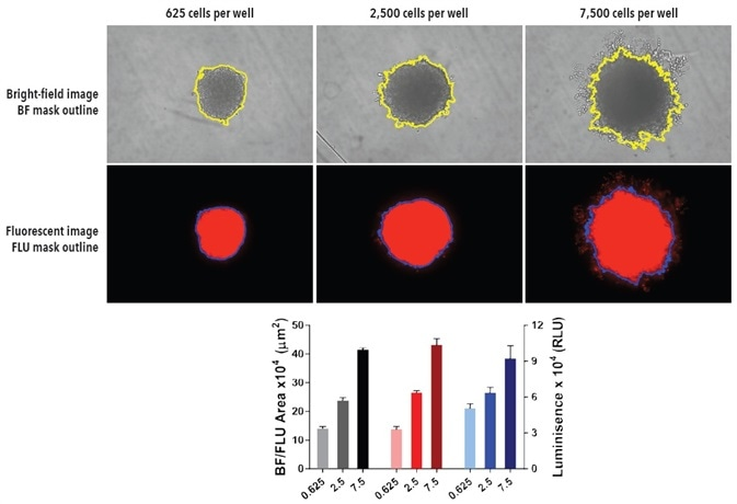 Fluorescent and [ATP] readouts support BF segmentation. Seeding density dependent spheroid growth of A549 NucLight Red cells. A549 NucLight cells were plated at a density of 625, 2,500 or 7,500 cells per well in ULA round-bottom 96- well plates. Spheroids were allowed to form followed by media replenishment 72-hours post seeding. BF and FLU images show segmentation mask of representative wells at 120-hours post-media replenishment. The bar graph demonstrates the correlation of the Largest BF and fluorescence Object area (µm2) as well as the [ATP] (Relative luminescent units, RLU) end-point analysis with increasing cell seeding density at 180-hurs. Data were collected over a 180-hour period at 6-hour intervals. All images captured at 10x magnification. Each data point represents mean ± SEM,