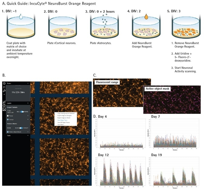 IncuCyte S3 for Neuroscience and Neuronal Activity Application. Quick guide workflow of NeuroBurst Orange infection protocol (A). The Neuronal Activity user interface is capable of displaying object traces, viewing movies, and longitudinal data of neuronal activity from each well (B). Fluorescent range image and automated segmentation mask of each active object represents a snapshot of activity over the complete scan (C). An example of iCell GlutaNeuron calcium traces from each 3 min scan indicate changing neuronal activity (fluorescence intensity) over 17 days in culture (D).