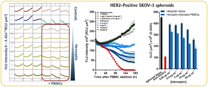 Herceptin-induced ADCC in HER2-positive SKOV-3 cells
