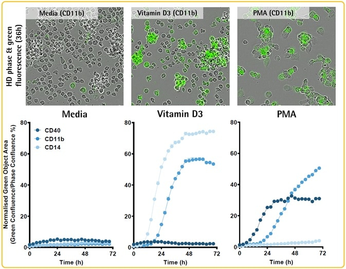 Coupling protein expression dynamics to cell differentiation