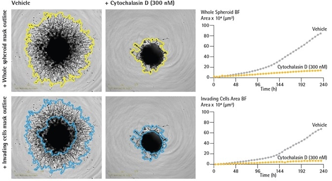 Quantification of single spheroid invasion using IncuCyte® real-time analysis. U87-MG cells were seeded in a ULA round bottom 96-well plate (2,500 cells/well) and allowed to form spheroids for 3 days. Spheroids were subsequently treated with vehicle or Cytochalasin D (Cyto D) prior to embedding in Matrigel (4.5 mg/mL). IncuCyte depth of focus brightfield (DF-BF) images (5 d post treatment) show effect of Cyto D on spheroid invasion (whole spheroid; yellow outline mask or invading cells; blue outline mask). Note extensive invasive phenotype of vehicle treated compared to Cyto D treated spheroids. Time-course plots show the individual well BF area (whole spheroid or invading cell areas, μm2) over time (h). Data were collected over a 240 h period at 6 h intervals. All images captured at 4x magnification. Each data point represents mean ± SEM,