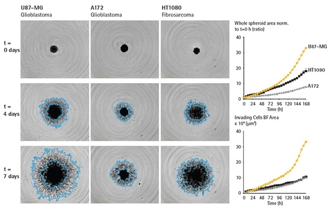 Assess cell type specific invasive capabilities over time. U87-MG, A172 and HT1080 cells were seeded in ULA round bottom 96-well plates (2,500 cells/well; U87-MG, HT1080 or 5,000 cells/well; A172) and allowed to form spheroids (3 d) prior to Matrigel addition (4.5 mg/mL). Brightfield images and timecourses of spheroid area (whole spheroid BF area normalized to t = 0h or invading cell area) show differences in invasive capacity across cell types. Invading cell area mask outline shown in blue, illustrates the extent of invasive capacity. Data were collected over 168 h at 6 h intervals. All images captured at 4x magnification. Each data point represents mean ± SEM,