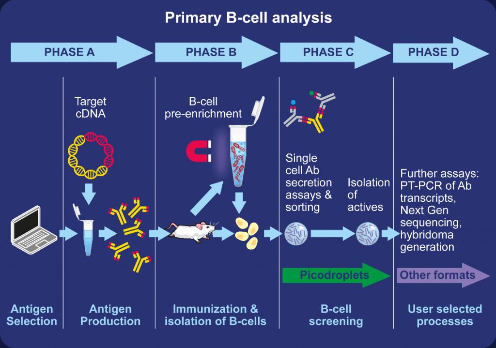 Antibody discovery workflow