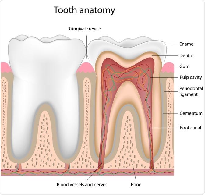 Anatomie de dent