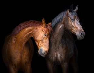 Gut microbiome communicates with horse's cells to enhance their athletic performance
