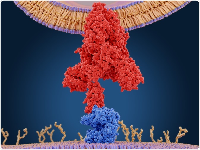 The coronavirus spike protein (red) mediates the virus entry into host cells. It binds to the angiotensin converting enzyme 2 (blue) and fuses viral and host membranes. PDB entry 6cs2. 3d rendering. Image Credit: Juan Gaertner / Shutterstock