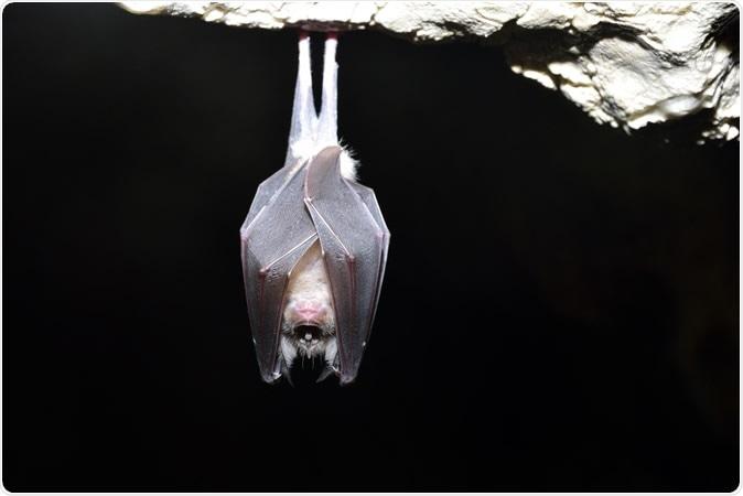 Greater horseshoe bat( Rhinolophus ferrumequinum). Image Credit: ATTILA Barsan / Shutterstock