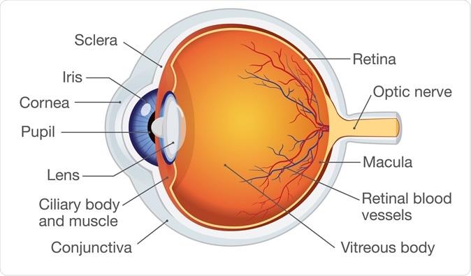 Anatomia do olho humano. Crédito de imagem: solar22/Shutterstock