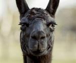 Antibodies from llamas may hold cure for novel coronavirus SARS-CoV-2