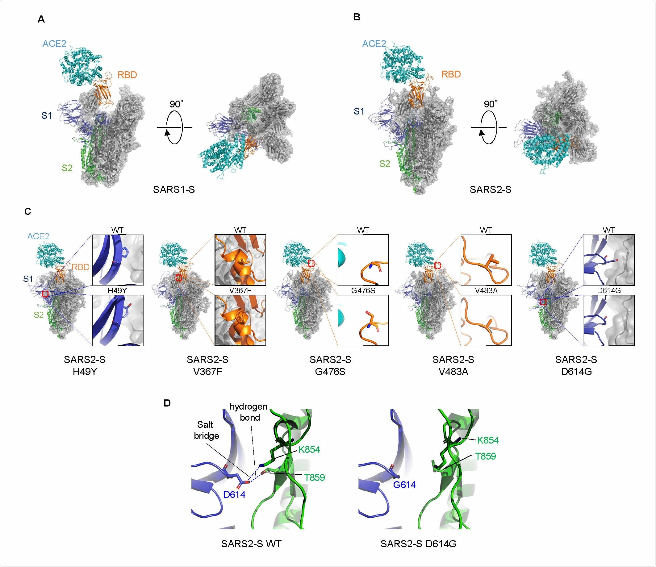 Structural comparison of S proteins.