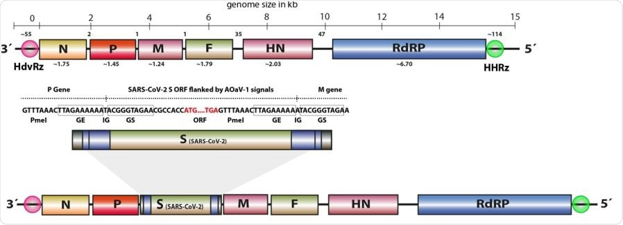 The full-length ORF for S gene of SARS-CoV-2 was over596 hanged with required transcriptional signals (GE, GS, IG) and inserted in between P 597 and M genes. The rough gene size is mentioned below each gene, the division of the 598 genome across the length and number of nucleotides in intergenic region is displayed 599 at the top of the schema of the AOaV-1 genome.