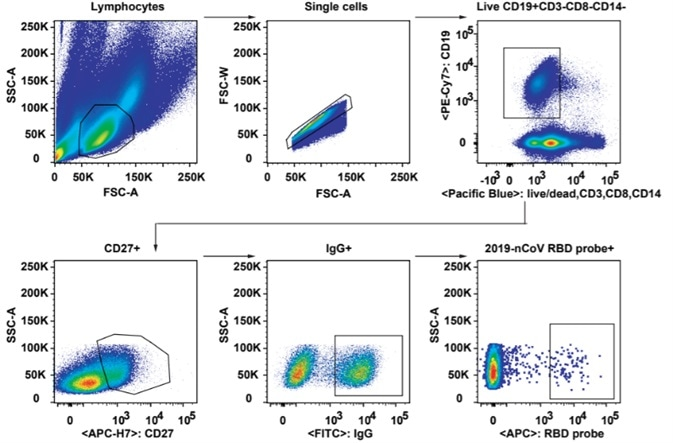 Gating strategy for analysis and isolation of SARS-CoV-2 RBD-specific memory B cells.