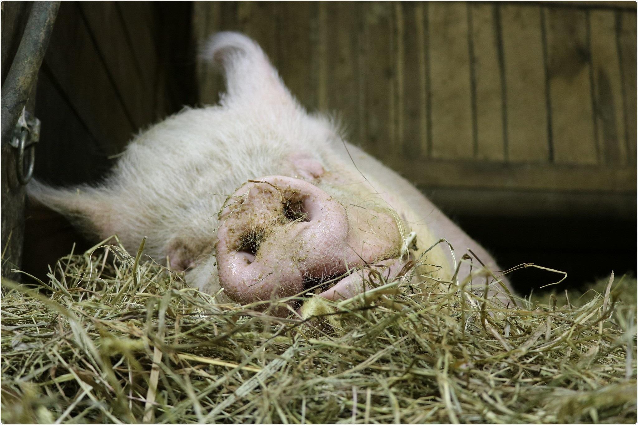 Domestic Pig. Credit: NIAID
