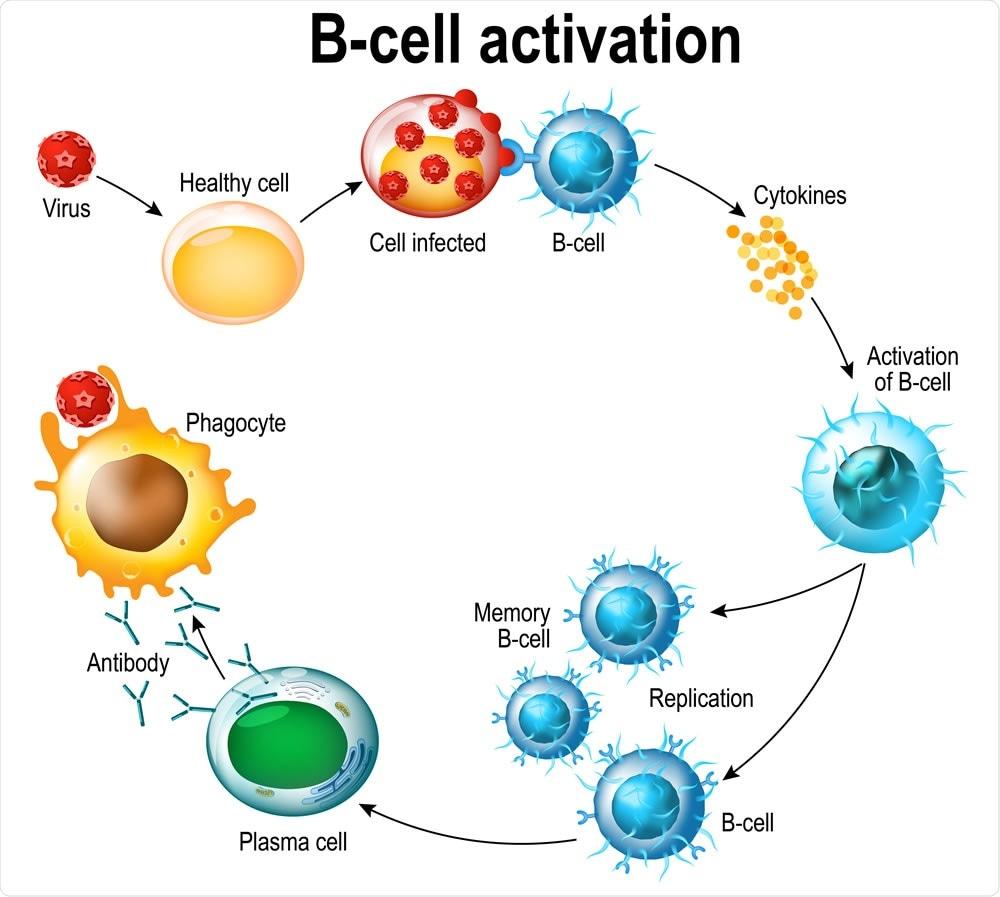 Attivazione dei leucociti del linfocita B: lymphoblast, attivazione, B-leucocita di memoria, virus, cella di plasma, anticorpo, antigene e linfocita ingenuo. Credito di immagine: Designua/Shutterstock