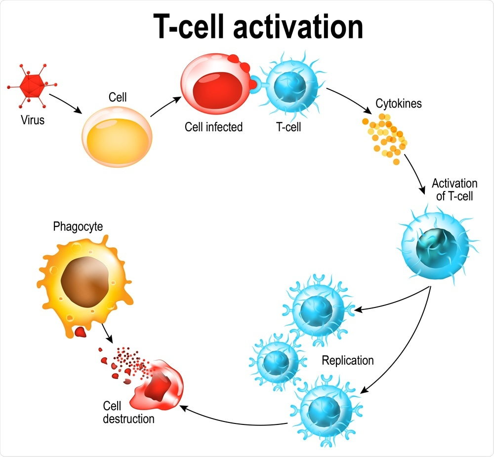 Attivazione dei leucociti a cellula T. La cellula T incontra il suo antigene della parola affine sulla superficie di una cella infettata. Le celle di T dirigono e regolamentano le risposte immunitarie ed attaccano le celle infettate o cancerogene. D da Designua