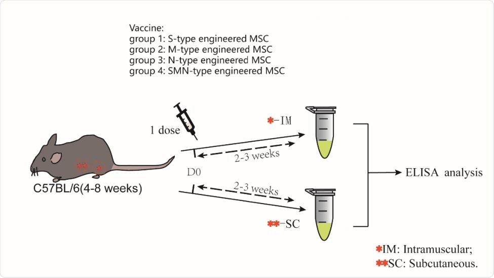 A schematic diagram of the one-dose MSCs injection Four groups of mice were given a single dose of intramuscular injection with the several type engineered MSC. Similarly, the other four groups of mice were given another subcutaneous injection for the same experiment. After two weeks later, blood sample was collected for ELISA.