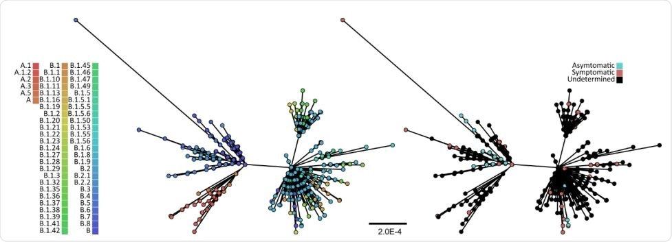Filogenia de la toda probabilidad de 625 genomas integrales SARS-CoV-2. El árbol fue reconstruido usando el ÁRBOL IQ93 y el modelo de la substitución del nucleótido de GRT+I, el modelo del mejor ajuste según lo determinado bajo consideración de información Bayesian por ModelFinder. Los valores del apoyo del clade de la carga inicial eran calculados sobre la base de 1.000 grupos de datos del pseudoreplicate, y solamente los brazos con el apoyo de la carga inicial del >70% se muestran. La barra de las escalas está en las unidades de substituciones por sitio. Los extremos fueron coloreados cualquiera por sus linajes (se fue) según lo determinado por el pangolin (github.com/hCoV-2019/pangolin), o por la severidad COVID-19 (correcta).
