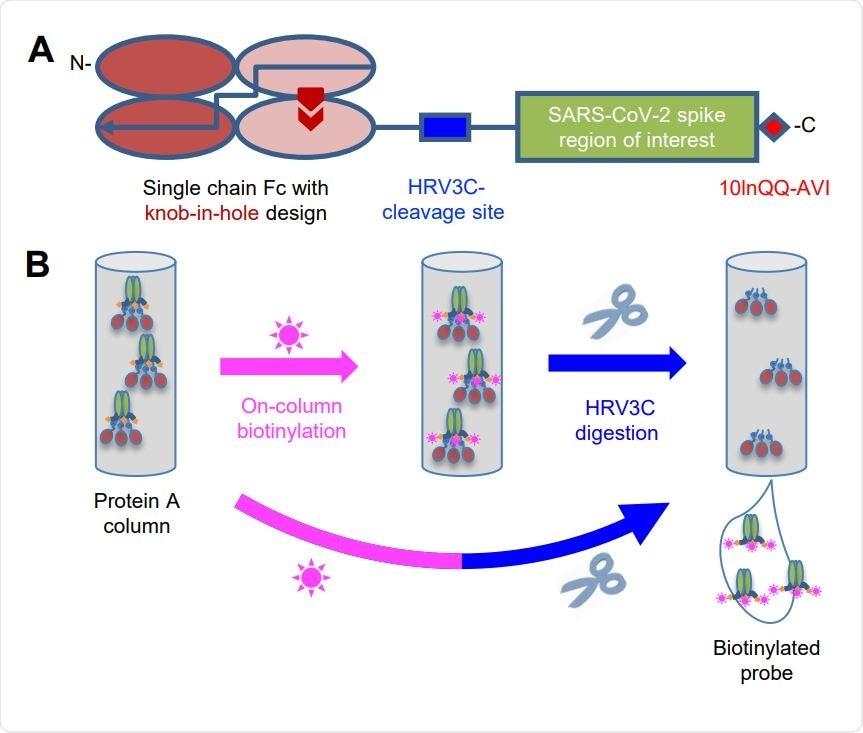 Stratégie pour la purification Basée sur balise avec le modèle schématique de Biotinylation de Sur-Fléau (a) du construire d
