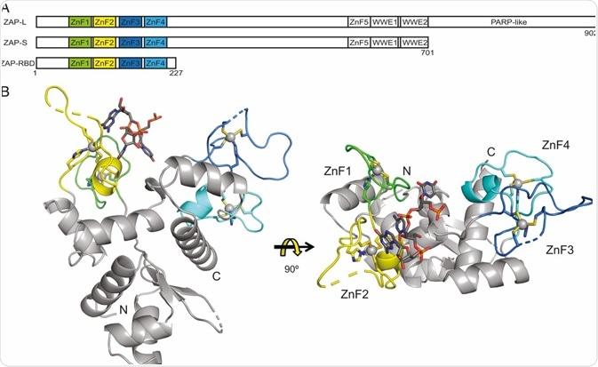 Zinc-finger antiviral proteins