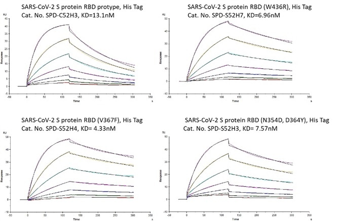Bioactivity – Biacore SPR results. The KD between Human ACE2 and prototype spike protein RBD is 13.1nM. The KD between Human ACE2 and RBD(V367F), RBD (W436R), and RBD (N354D, D364Y) were 4.33nM, 6.96nM, and 7.57nM respectively.