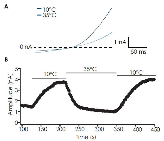 (A) Whole-cell current responses from induced CHO cells expressing TRPM8 to a ramp protocol (-100 mV to +100 mV over 200 ms) at 10 °C (dark blue) and 35 °C (light blue). TRPM8 was activated at 10 °C but not at 35 °C. (B) Timecourse of TRPM8 activation with a cold solution (10 °C) and block by warm solution (35 °C).