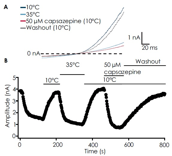 (A) Traces from an example cell showing activation by cooled solution (10 °C, dark blue), block by either heated solution (35 °C; light blue), or capsazepine (50 μM; red trace) and washout after capsazepine application (grey). TRPM8 current could be almost completely recovered upon washout of capsazepine. (B) Timecourse of the experiment.
