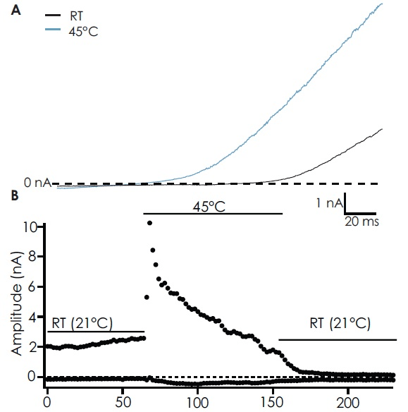 (A) Whole-cell current responses from induced CHO cells expressing TRPV4 to a ramp protocol (-100 mV to +100 mV over 200 ms) at RT (21 °C) (black) and 45 °C (light blue). TRPV4 was activated at 45 °C. Some basal activity was seen in some cells at the start of the experiment. (B) Timecourse of TRPV4 activation with a warm solution (45 °C).