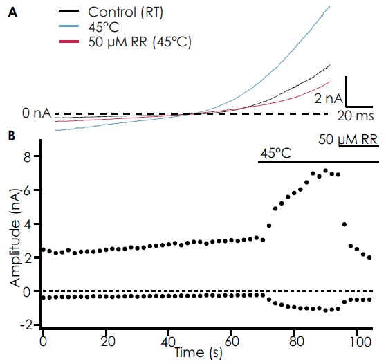 (A) Traces from an example cell showing basal TRPV4 current (black), activation by warm solution (45 °C, light blue), and block by 50 μM ruthenium red (RR; red). (B) Timecourse of the experiment.