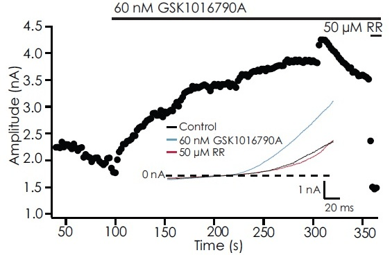 Activation of TRPV4 by GSK1016790A and subsequent block by ruthenium red. Shown is the timecourse of an example cell with corresponding traces.