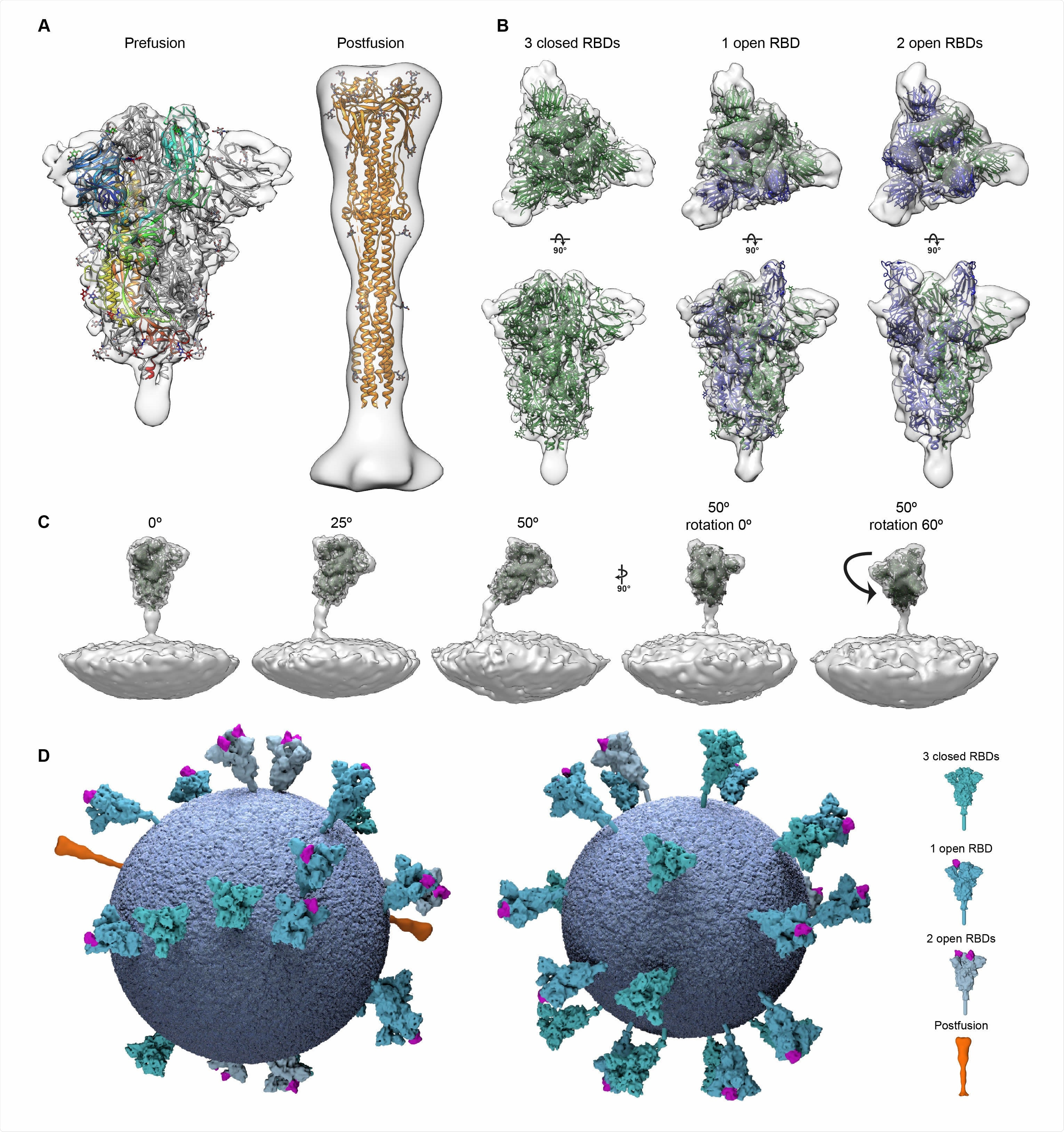 Structural analysis of SARS-CoV-2 S trimers from intact virions. (A) Structures of the prefusion (left) and postfusion (right) S trimer from intact virions determined by subtomogram averaging. The structures are shown as a transparent grey isosurface fitted with structures of the closed, prefusion SARS-CoV-2 S trimer (PDB 6VXX) and the postfusion SARS-CoV-1 S trimer (PDB 6M3W). In the prefusion form, one monomer is colored from blue (N terminus) to red (C terminus). The N-terminal domain is blue, the RBD appears cyan. Note that the NTD does not fully occupy the EM density because a number of loops are not resolved or built in PDB 6VXX. (B) The different conformations of the prefusion S trimer observed on intact virions by subtomogram averaging. Three conformations were observed: all RBDs in the closed position (left, fitted with PDB 6VXX); one RBD in the open position (center, fitted with PDB 6VYB); two RBDs in the open position (right, fitted with PDB 6X2B which does not include modelled glycans). Note that the twoopen conformation has only been observed in vitro after inserting multiple stabilizing mutations. S monomers with closed RBDs are green, and with open RBDs are blue. (C) Averaging of subsets of trimers grouped according to their orientation relative to the membrane shows flexibility in the stalk region. Examples are shown for pools centered at 0°, 25° and 50° from the perpendicular, and for two different rotations of the trimer relative to the tilt direction. (D) 3D models of two individual SARS-CoV-2 virions with a membrane (blue) of the measured radius, and all spike proteins shown in the conformations, positions and orientations determined by subtomogram averaging.