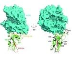 SARS-CoV-2棘突蛋白突变的感染性