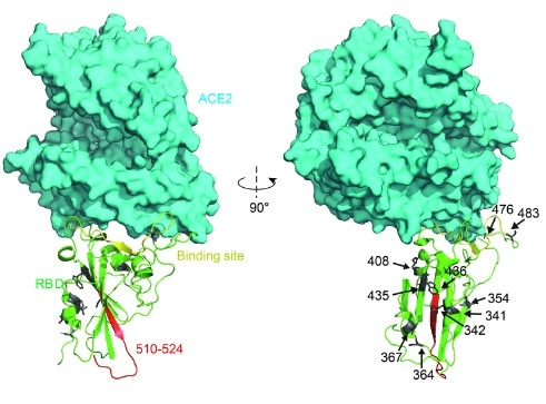 Structural analysis of RBD mutants and the effects on their binding affinity. Spatial 409 location of the mutant amino acids and the fragment 510-524.
