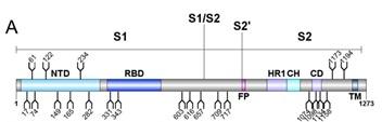 Schematic representation of SARS-CoV-2 S glycoprotein.