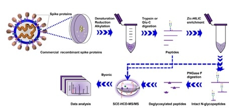 Workflow for site-specific N-glycosylation characterization of recombinant SARS-CoV-2 S proteins using two complementary proteases for digestion and simultaneous N-glycoproteomics analysis.
