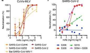 Neutralization of pseudoviruses (bearing S protein) and authentic SARS-CoV-2 by an isolated antibody named S309 from a SARS survivor.