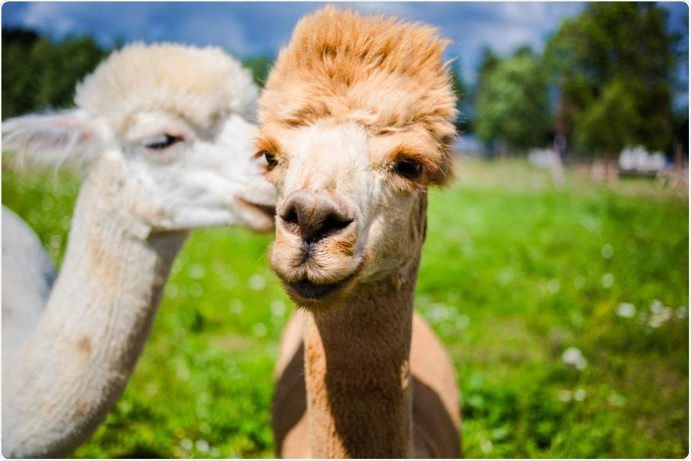 Study: An alpaca nanobody neutralizes SARS-CoV-2 by blocking receptor interaction. Image Credit: Nadia Kompan / Shutterstock