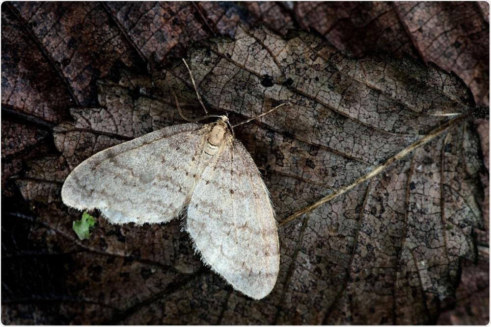 Winter moth, Operophtera brumata. Image Credit: Henri Koskinen / Shutterstock