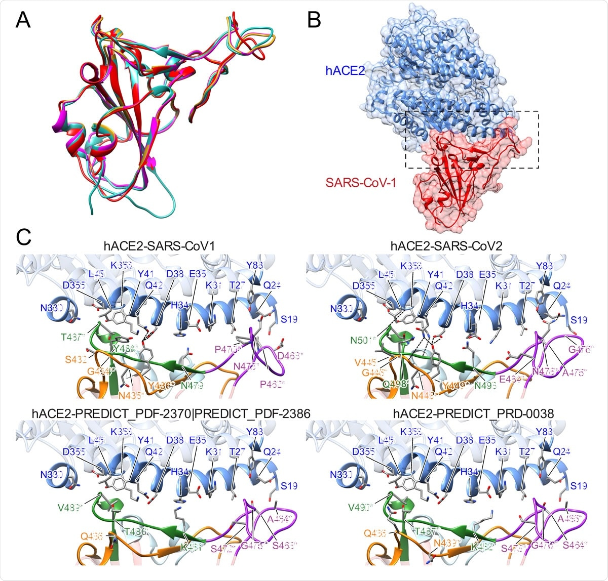 Structural modeling of sarbecovirus RBDs found in Uganda and Rwanda. (A) Structural superposition of the X-ray structures for the RBDs in SARS-CoV-1 (PDB 2ajf, red) [36] and SARS-CoV- 2 (PDB 6m0j, cyan) [64] and homology models for SARS-CoV found in Uganda (PREDICT_PDF-2370 and PREDICT_PDF-2386, purple) and Rwanda (PREDICT_PRD-0038, yellow). (B) Overview of the X574 ray structure of SAR-CoV-1 RBD (red) bound to hACE2 (blue) (PDB 2ajf, red) [36]. (C) Close-up view of the interface between hACE2 (blue) and RBDs in SARS-CoV-1 (PDB 2ajf, red) [36] and SARS-CoV- 2 (PDB 6m0j, cyan) [64] and homology models for viruses found in Uganda (PREDICT_PDF-2370 and PREDICT_PDF-2386, purple) and Rwanda (PREDICT_PRD-0038, yellow). Labeled RBD residues correspond to residues whose identity is not shared by SARS-CoV-1 and/or SARS-CoV-2 (asterisks denote residues whose identity is not shared by any ACE-2 binding SARS-CoV as dictated by Figure 3). Labeled hACE2 residues correspond to residues within 5Å of RBD residues depicted.