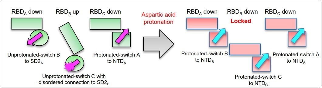Asp protonation at low pH refolds switch domain locking RBD in the down position; an Asp614Gly variant has altered interactions with ACE2 and modestly impaired conformational masking. Schematic of the pH-switch locking of RBD in the down position.