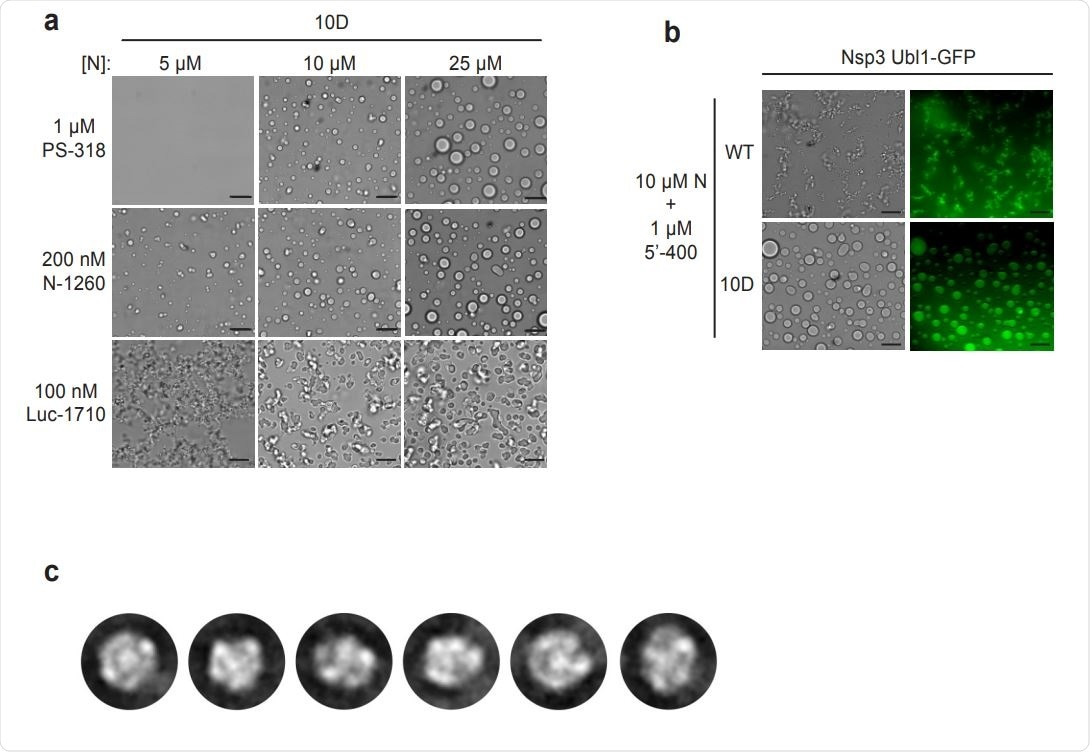 Characterization of N protein condensates. a, Images of N protein 10D mutant following 30 min incubation with the indicated RNAs. Scale bar, 10 µm. b, 10 µM wild-type (WT) or 10D N protein was incubated with 1 µM 5'-400 RNA for 10 min. Nsp3 Ubl1- GFP was then added to a concentration of 1 µM and incubated for an additional 15 min before imaging in brightfield (left) or fluorescence (right). c, 2D class averages of particles from the EM analysis of wild-type N protein and PS-318 RNA shown in Fig. 4c.