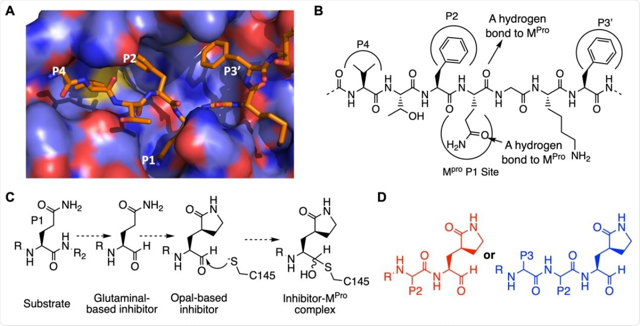 The design of SC2MPro inhibitors based on medicinal chemistry learned from SC1MPro studies. (A) The structure of SC1MPro complexed with a peptide substrate (based on the pdb entry 5b6o). Active site cavities that bind P1, P2, P4, and P3' residues in the substrate are labeled. (B) A schematic diagram that shows interactions between SC1MPro and a substrate. (C) A scheme in which a substrate P1 residue is converted to glutaminal and then b-(S-2-oxopyrrolidin-3-yl)- alaninal (Opal) to form a reversible covalent inhibitor that reacts with the SC1MPro active site cysteine C145. (D) Scaffold structures of Opal-based inhibitors designed for SC2MPro.
