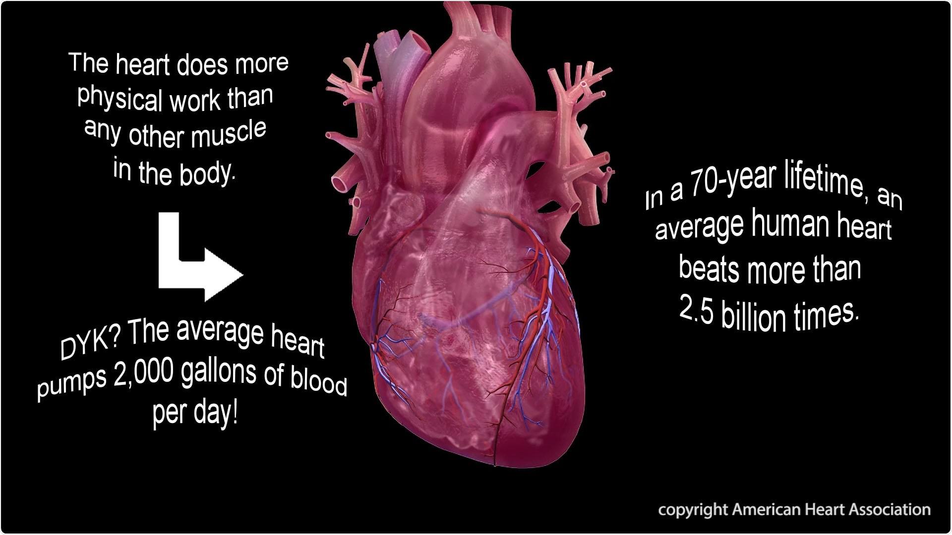 The heart does more physical work than any other muscle in the body.  The average heart pumps 2,000 gallons of blood per day!  In a 70-year lifetime, an average human heart beats more than 2.5 billion times. Image copyright American Heart Association