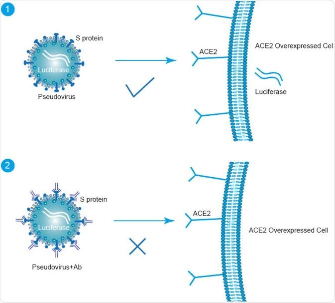 Pseudovirus of SARS-CoV-2