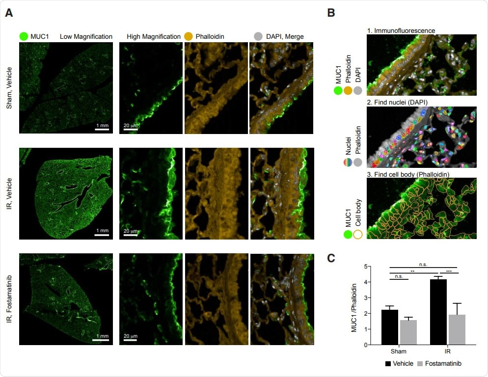 In vivo, R788 reduces excess MUC1 from lung epithelia of mice with AL